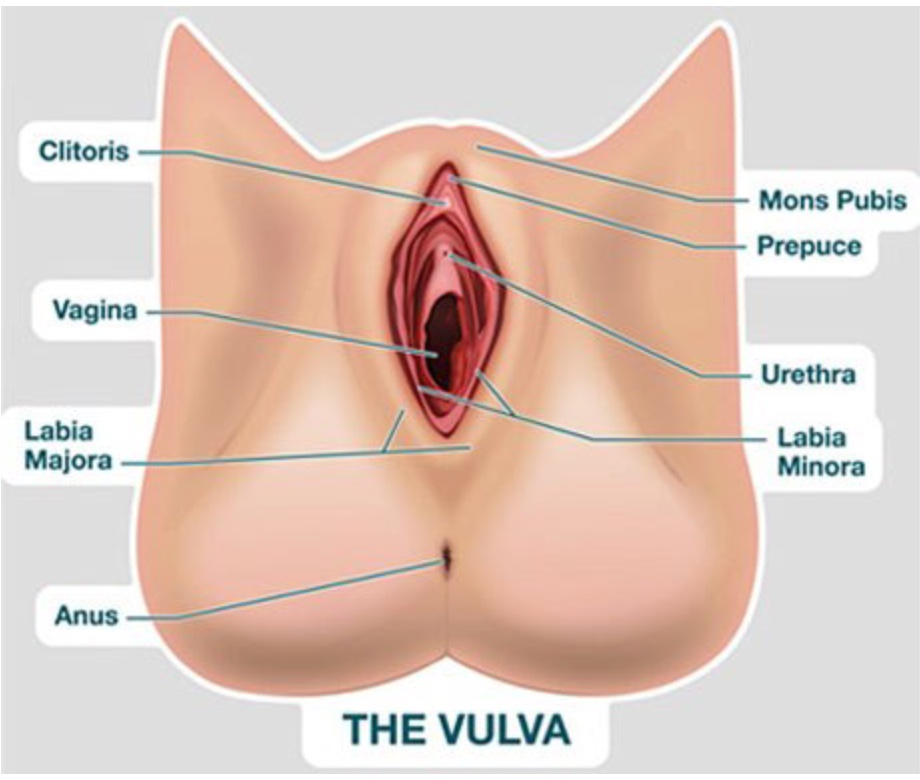 Get to know your vulva and vagina better lunette
